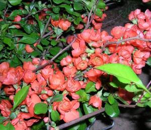 Цветение айвы японской